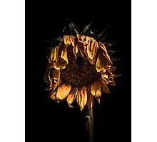 A tired sunflower Photographic Print