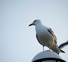 Gull blue sky by Cristian Gil