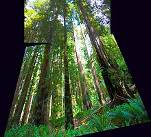 Redwoods by gerardofm4