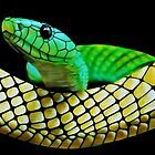Green mamba (Dendroaspis viridis) by Terry Bailey