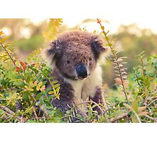 Koala in the Front Yard Photographic Print