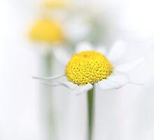 Matricaria (German chamomile) (2) by Bob Daalder