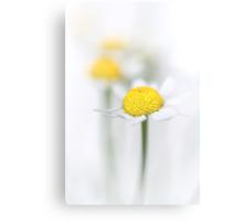Matricaria (German chamomile) (2) Canvas Print