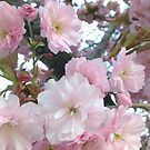 Spring Blossoms by Rob Goforth