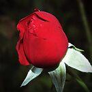 Rosebud by beracox
