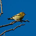 Morning Blackburnian Warbler by Chris Kiez