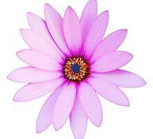 Violet Daisy by luissantos84