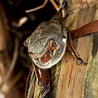African Sheath-Tailed Bat -  Oldupia Gorge  - Tanzania by john  Lenagan