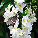 White Jasmine by Irene  Burdell