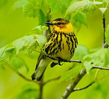 Warblers Of North America by Michael Cummings