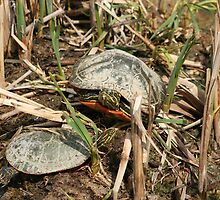 Pair of Painted Turtles Warming in the Sun by rhamm