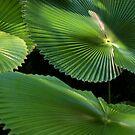 Radial Charm (Licuala Cordata Palm, FNQ)  by Kerryn Madsen-Pietsch