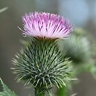 Thistle beside the path 2 by RickLionheart