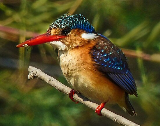 Malachite Kingfisher by Linda Sparks