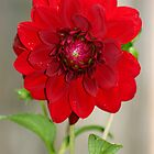 Red Dahlia by Mike HobsoN
