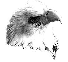 Majestic Bald Eagle. Wildlife Digital Engraving Image. by digitaleclectic