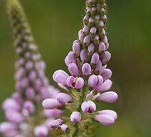 Wild Flower of Western Australia by RickLionheart