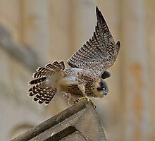 Peregrine Falcon by Trevsnature
