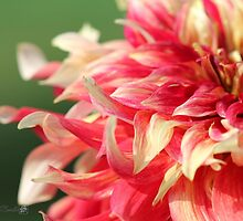 Dahlia named Bodacious by JMcCombie
