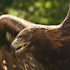 Golden Eagle by Adrian McGlynn