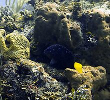 Yellowtail Damselfish by Amy McDaniel