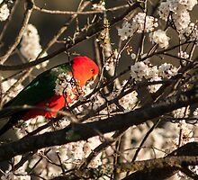 Australian King Parrot by Deborah McGrath