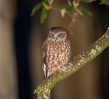 Southern Boobook owl by Nick Bradsworth
