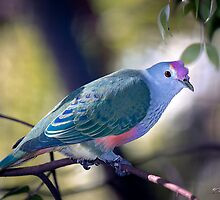 Mariana Fruit Dove by Brad Grove