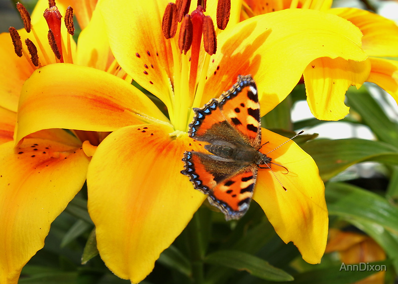 Yellow Lily and Tortoiseshell Butterfly, by AnnDixon