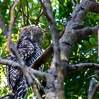 Powerful Owl, (Ninox strenua), Parent one  by Normf