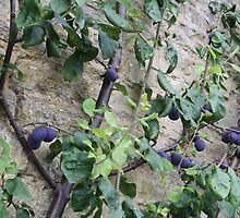 Damson Fruits by MyPixx