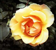 Yellow Rose by OlaG