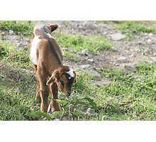 Young Goat in a Field Photographic Print
