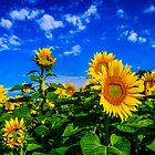 More Sunflowers by john forrant