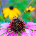 Purple Coneflower by Elizabeth Thomas