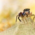 'Male peacock Jumping Spider' by Kerrod Sulter