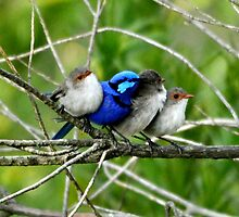 Spring Time Blue Wren and Friends by Coralie Plozza