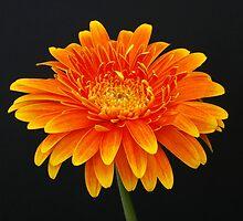 A Flower Portrait by jwwallace