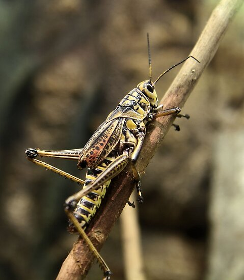 Grasshopper by SuddenJim