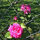 Fenced In Roses by debidabble