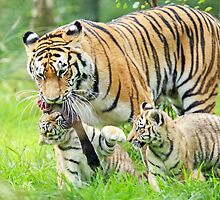 Amur Tiger with Cubs by Mark Hughes