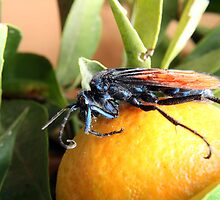 Tarantula Hawk Spider Wasp on an Orange by rhamm