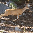 A buck leaps by Anthony Brewer