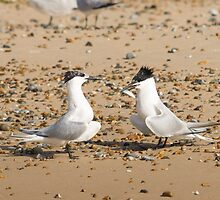 Sandwich Terns by Mark Ramsell