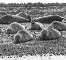 Seals on Blakeney Point by Mark Ramsell