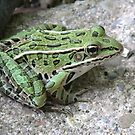 Northern leopard frog by Alice Kahn