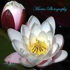 Lilies by mariusvic