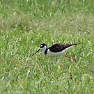 Black-necked Stilt by Kimberly Chadwick