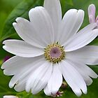 Delightful Daisy by Deborah Clearwater