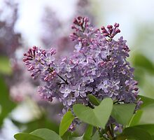 Lilac in Bloom by picsbytabitha